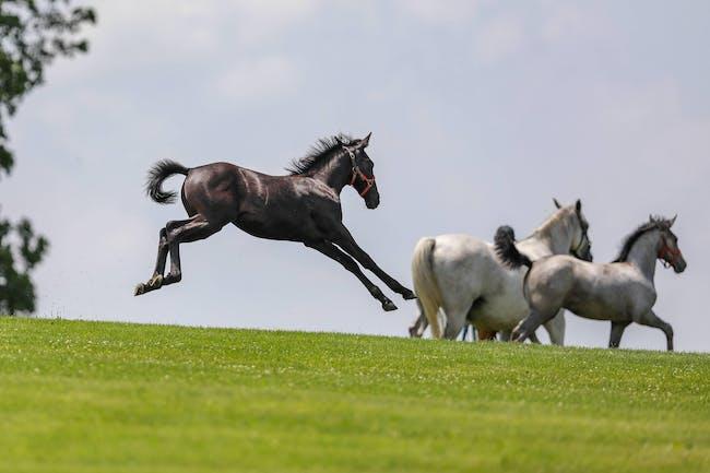 New Baby Lipizzan Horses of 2020