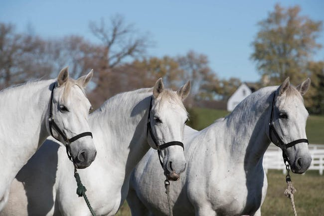 How a Lipizzan Stallion learns to dance - PLUS Retirement Party