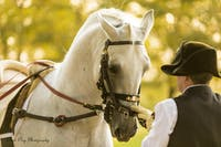 How a Lipizzan Stallion learns to dance