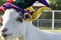 JesterZ Improv Presents: Baby Goat Improv!
