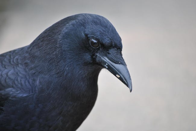 SHOW CANCELED: As the Crow Flies: Corvid Behavior, Play, and Funerals