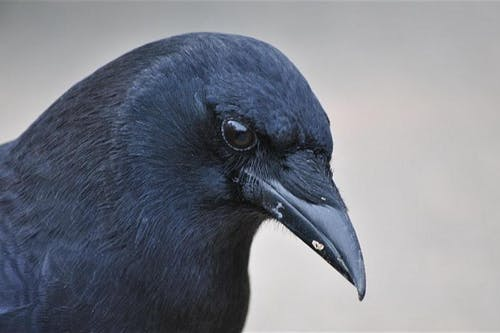 POSTPONED to 8/8/20: As the Crow Flies: Corvid Behavior, Play, and Funerals